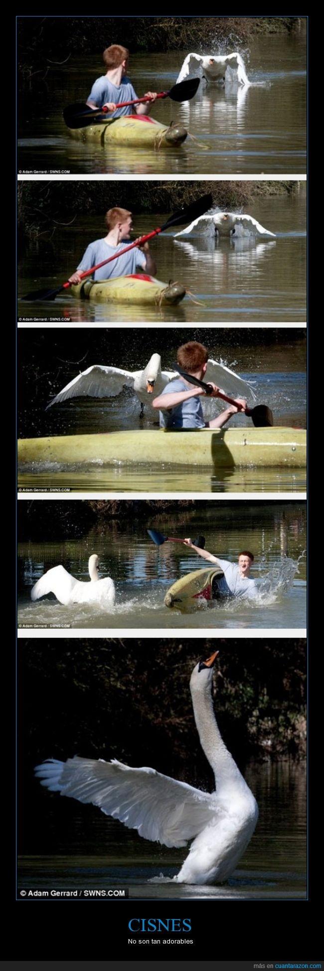 atacar,ataque,barca,cisnes,malvado,plumas