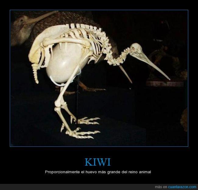 animal,grande,huevo,kiwi