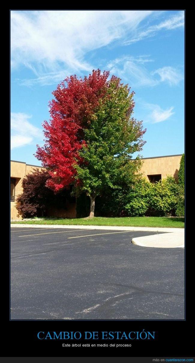 arbol,cambio,color,estacion,hojas,medio,otoño,proceso,rojo,verano,verde