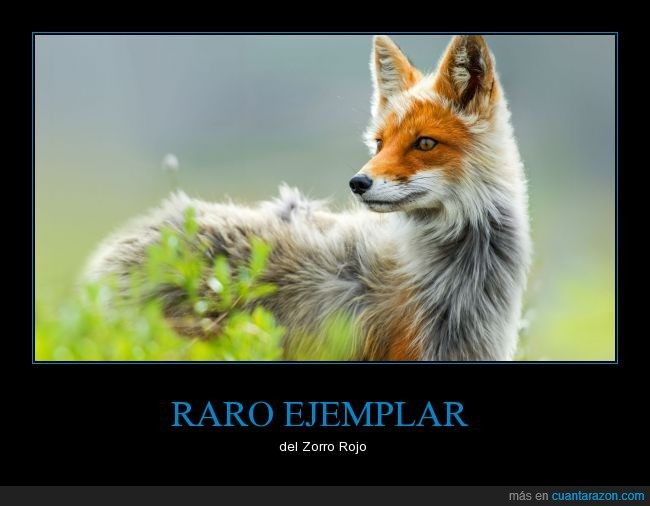 bello plata,cánidos,mamífero,rojo,Zorro