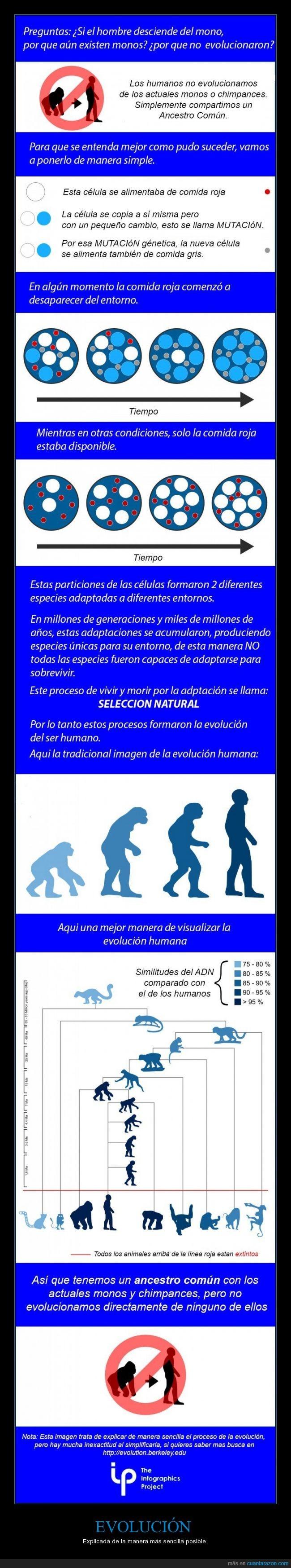 ancestro común,chimpacé,Evolución,explicación,mono