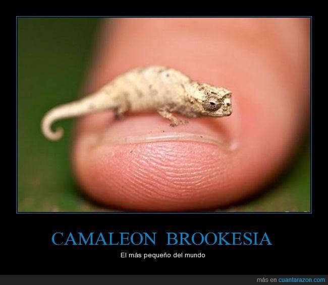 Brookesia,Camaleon,miniatura,mundo,pequeño,record
