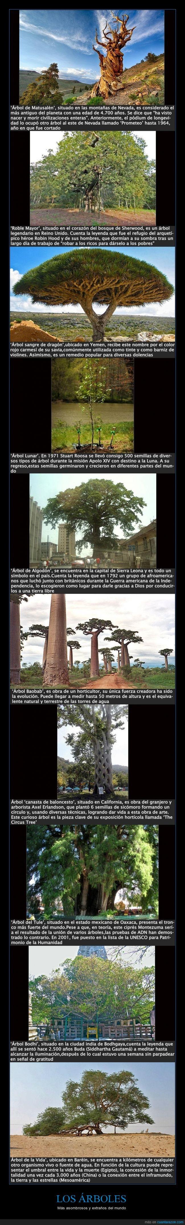 Árbol Baobab,Árbol Bodhi,Árbol canasta de baloncesto,Árbol de Algodón,Árbol de la Vida,Árbol de Matusalén,Árbol del Tule,Árbol Lunar,Árbol sangre de dragón,árboles,asombrosos,Axel Erlandson,Baréin,Bodhgaya,bonitos,bosque de Sherwood,Buda,California,ciprés Montezuma,curiosos,EE.UU.,extraños,impactantes,increíbles,India,montañas de Nevada,Oaxaca,raros,Robin Hood,Roble Mayor,Siddhartha Gautamá,Sierra Leona,Stuart Roosa,Yemen
