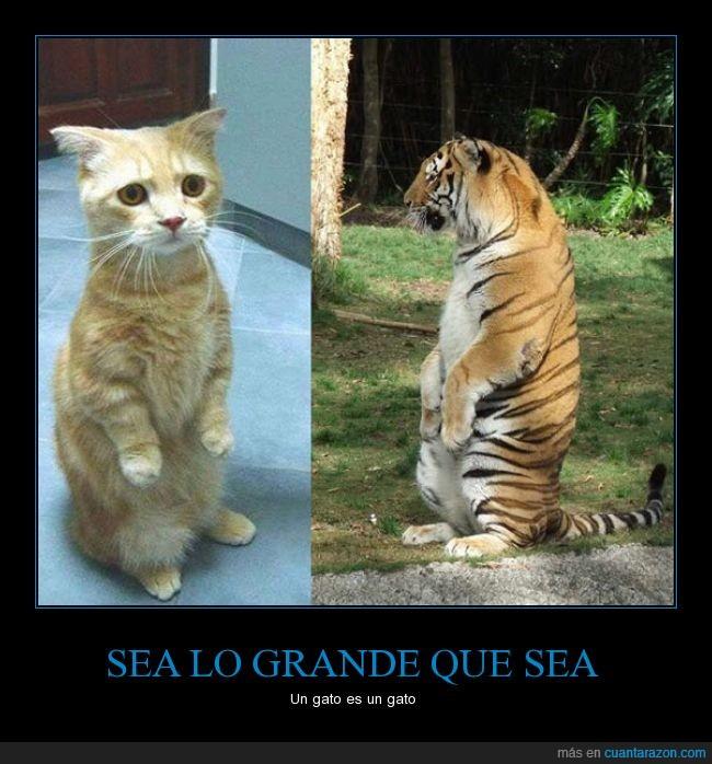 felino,gato,misma,patas,posicion,sentado,sentar,tigre,traseras