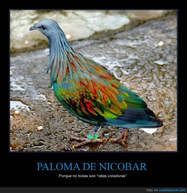 aire,animal,colores,cuidad,paloma nicobar,rata