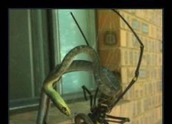 Enlace a Arañas gigantes comiendo serpientes, lo típico