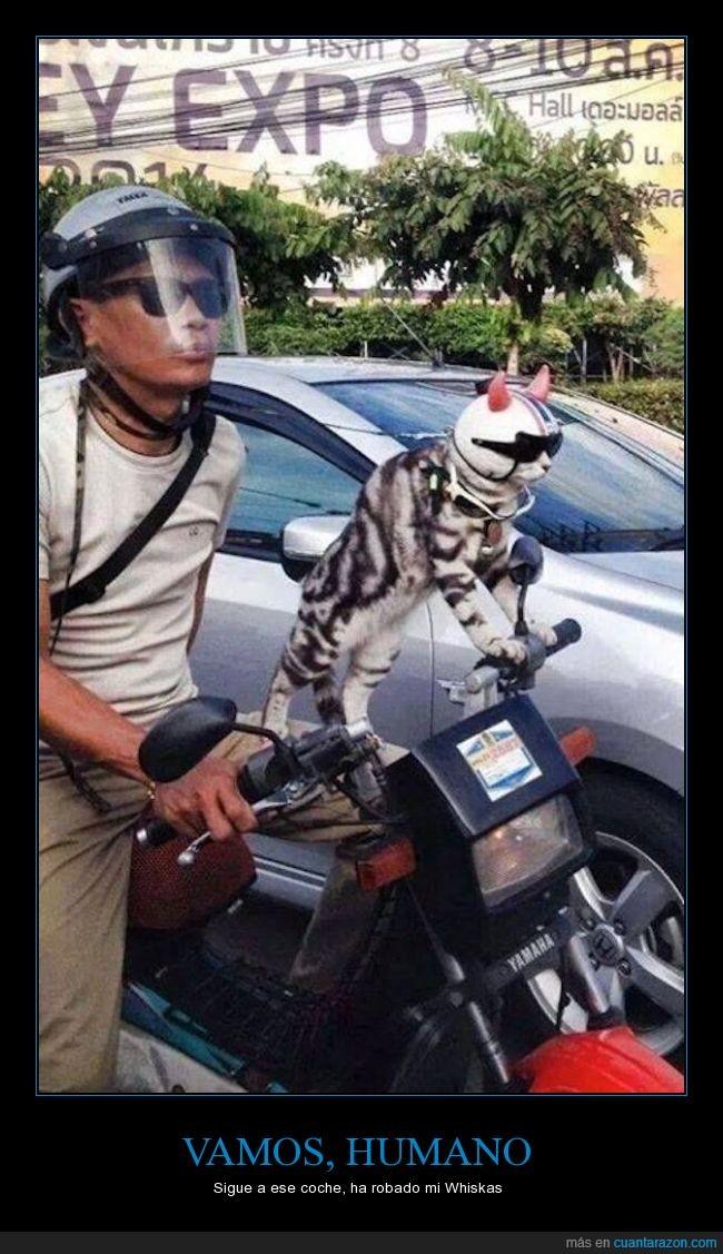 casco,comida,cuernos,encima,gato,moto,persecución,perseguir,seguir,whiskas