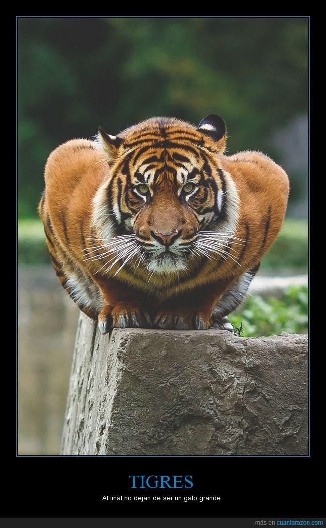 bengala,bigotes,félido,felino,gato,tigre