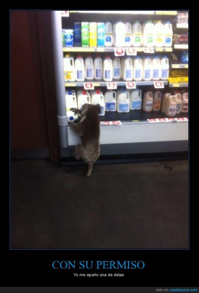 diprotodonto,hurto,koala,leche,marsupial,supermercado