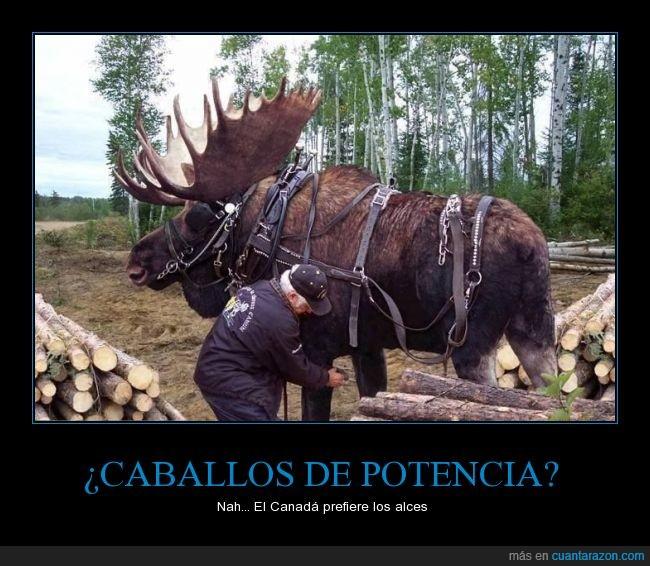 alce,animalaco,caballo,Canada,carga,empujar,leños,llevar,tronco