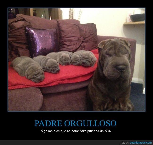 arrugado,camada,hijo,negro,padre,perrito,perro,sharpei