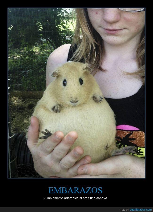 adorable,barriga,cobaya,conejillo de indias,embarazada,gorda,Guinea Pig