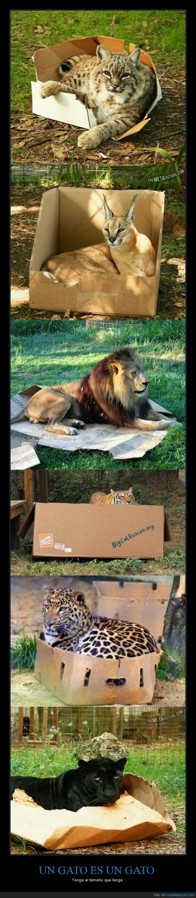 caja,cartón,dentro,felino,gato,leon,lince,pantera