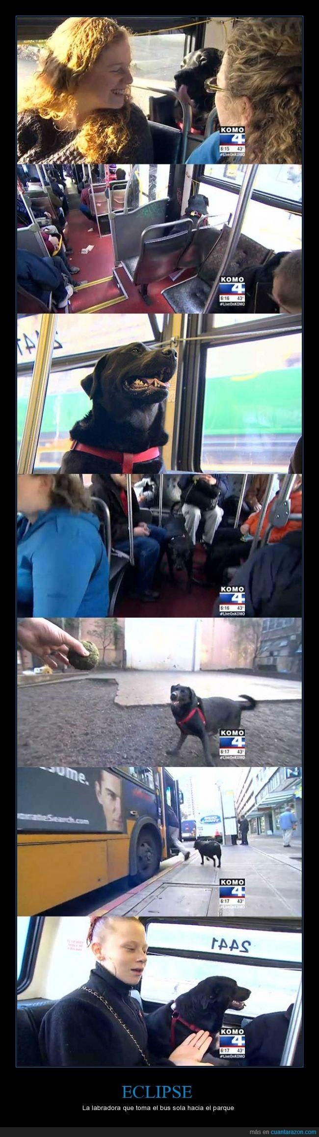 autobus,bus,Eclipse,jugar,labrador,negro,parque,perro