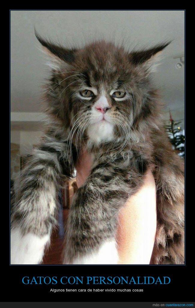 cara,felino,gato,imagen,minino,místico,pelo,personalidad,sabio