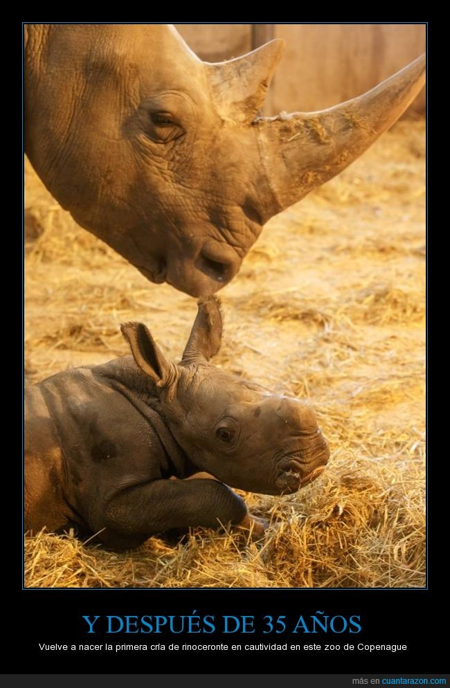 cautividad,Copenague,cría,nacer,nacimiento,rinocerontes,zoologico de copenhague