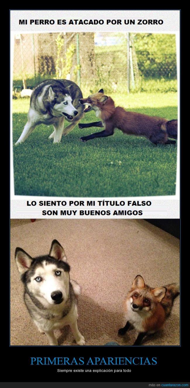 amigos,atacar,husky,jugar,perro,zorro