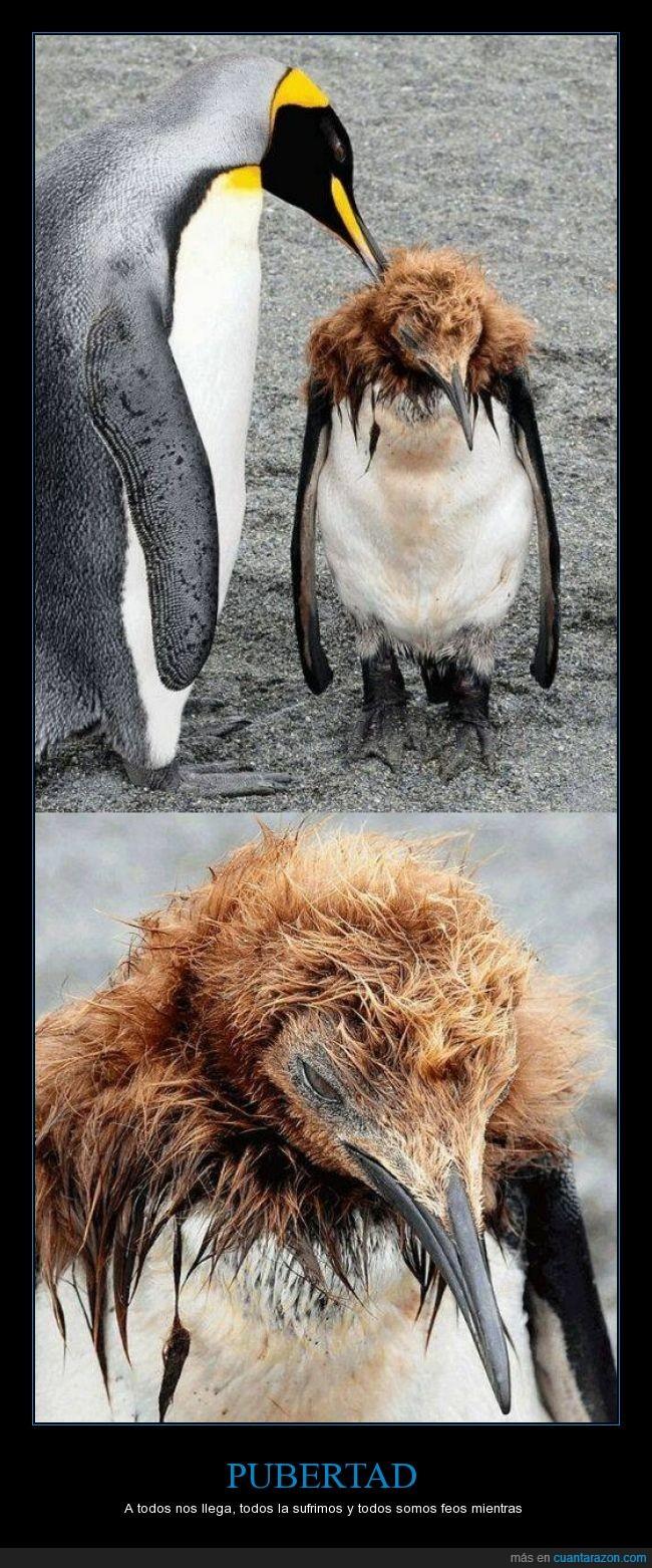 cambio,madurar,pelo,pingüino,pluma,solo les pasa a las crías del pingüino rey