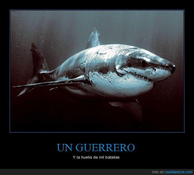ataques,escualo,mar,marcas,muescas,océano,rey,temible,tiburón