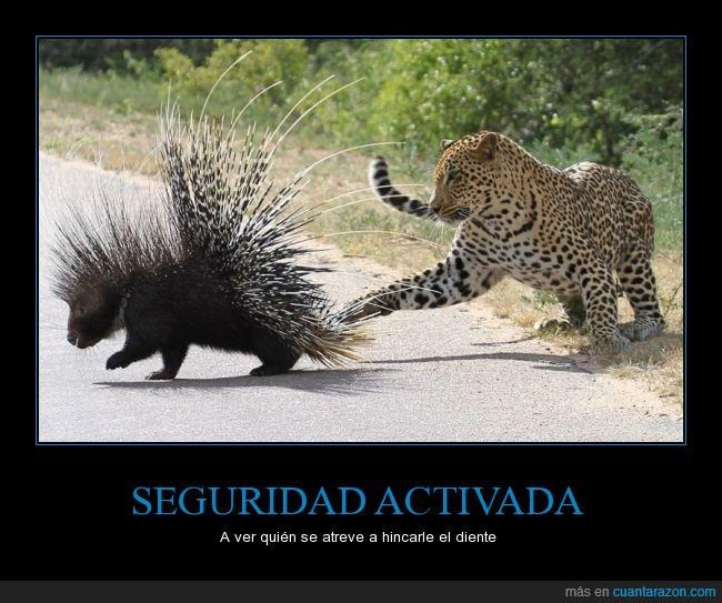 defensa,espinas,félido,felino,jaguar,juego,leopardo,puercoespín,zarpazo