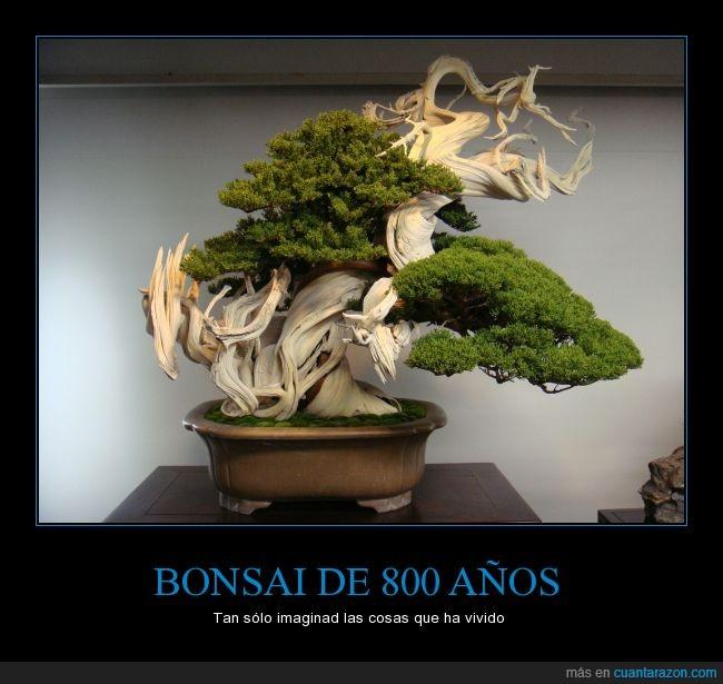 arbol pequeñito,bonsai,larga vida,quién sabe por cuántas manos habrá pasado