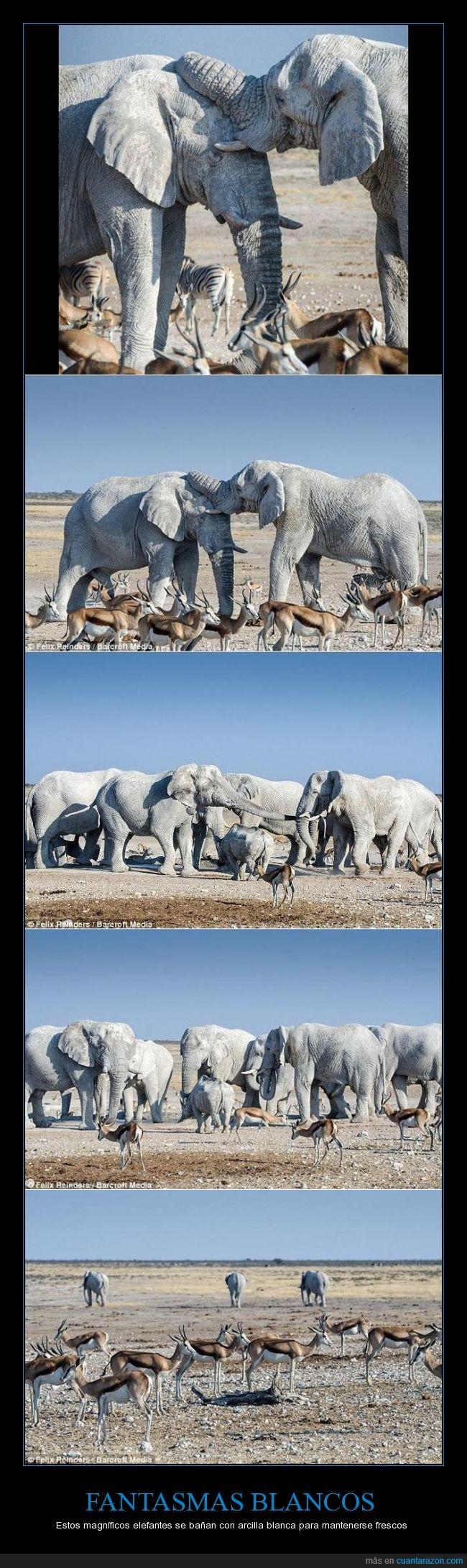 'fantasmas blancos',bañarse,calor,elefantes,Felix Reinders,frescos,mezcla de arcilla blanca y arena de calcita,Namibia,Parque Nacional de Etosha,'pintados' de blanco