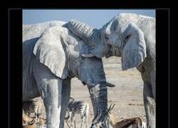 Enlace a ¿Por qué son estos elefantes blancos? ¿VAN DISFRAZADOS?