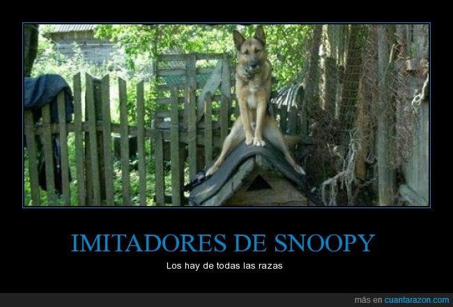 beagle,casa,encima,pastor alemán,sentado,sentarse,Snoopy,trepar