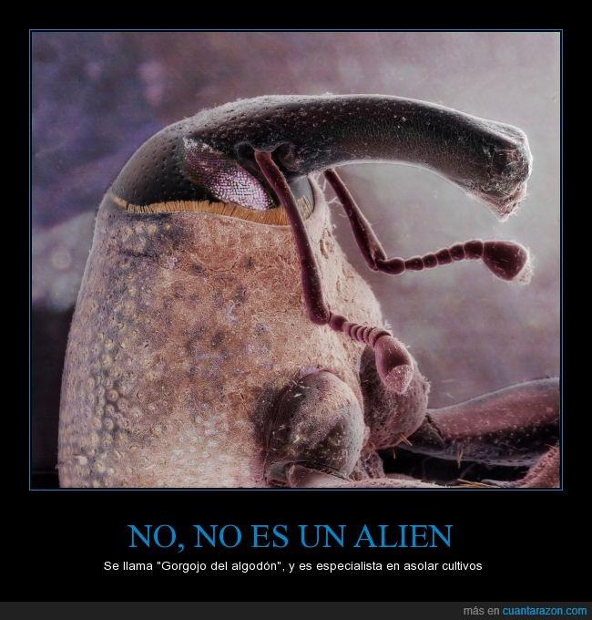 Alien,Anthonomus grandis,Cultivos,Foto científica,Gorgojo del algodón,Me comeré a tu familia