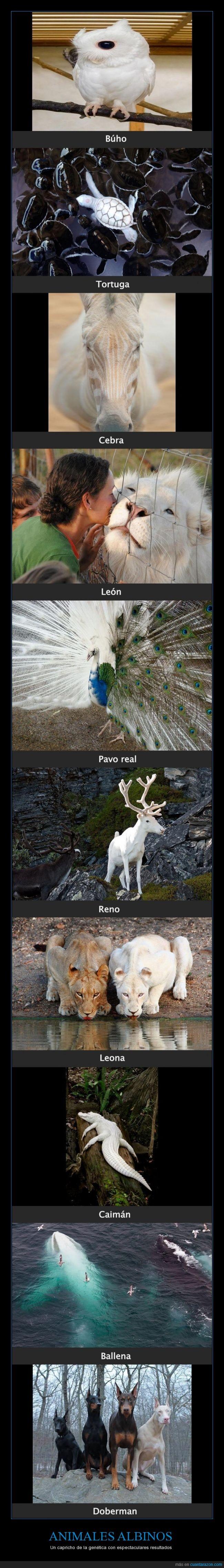 animales albinos,Ballena,blancos,Búho,Caimán,Cebra,desordenes de pigmentación,Doberman,espectaculares,León,Leona,naturaleza,Pavo real,reino animal,Reno,Tortuga