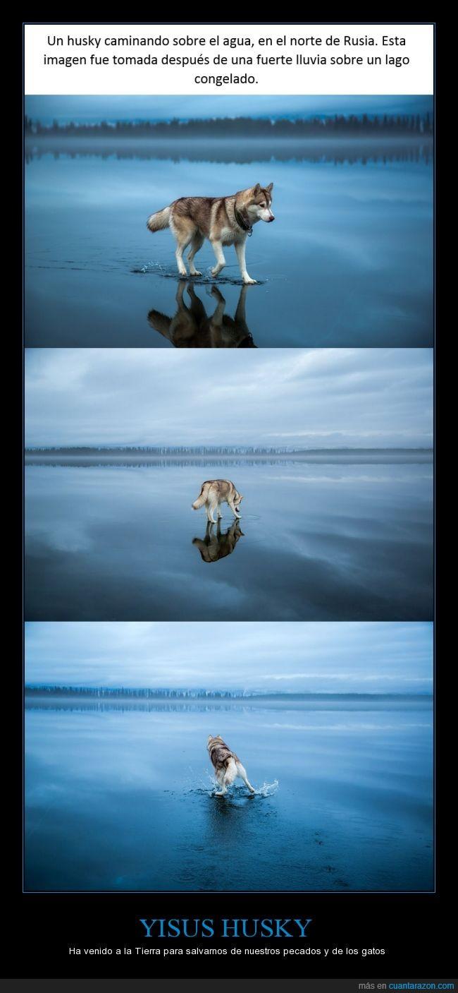 agua,caminar,encima,helado,Husky,lluvia,perro,rio,rusia,sobre