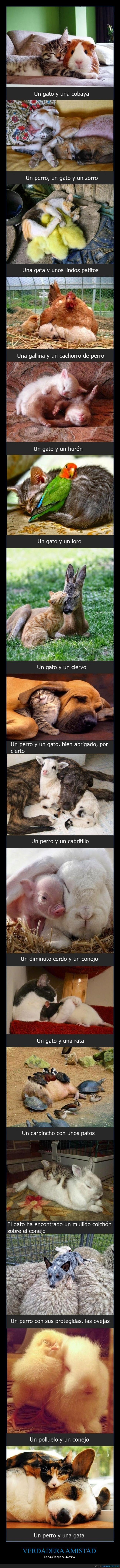 cabritillo,cachorros,carpincho,cerdo,ciervo,cobaya,conejo,dormir juntos,extrañas parejas,gallina,Gato,hurón,loro,no discriminar,ovejas,patitos,perro,pollitos,rata,verdadera amistad,zorro