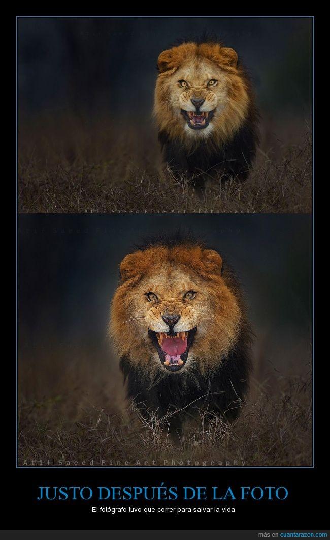 ataque,Atif Saeed,fotografo,hambre,hambriento,león,naturaleza