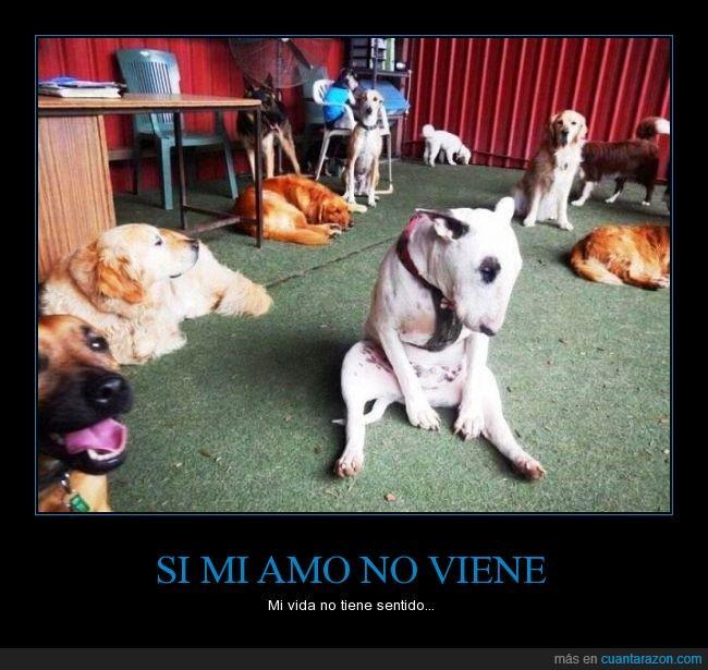 amo,comida,perro,pitbull,sentar,sentido,triste,vida