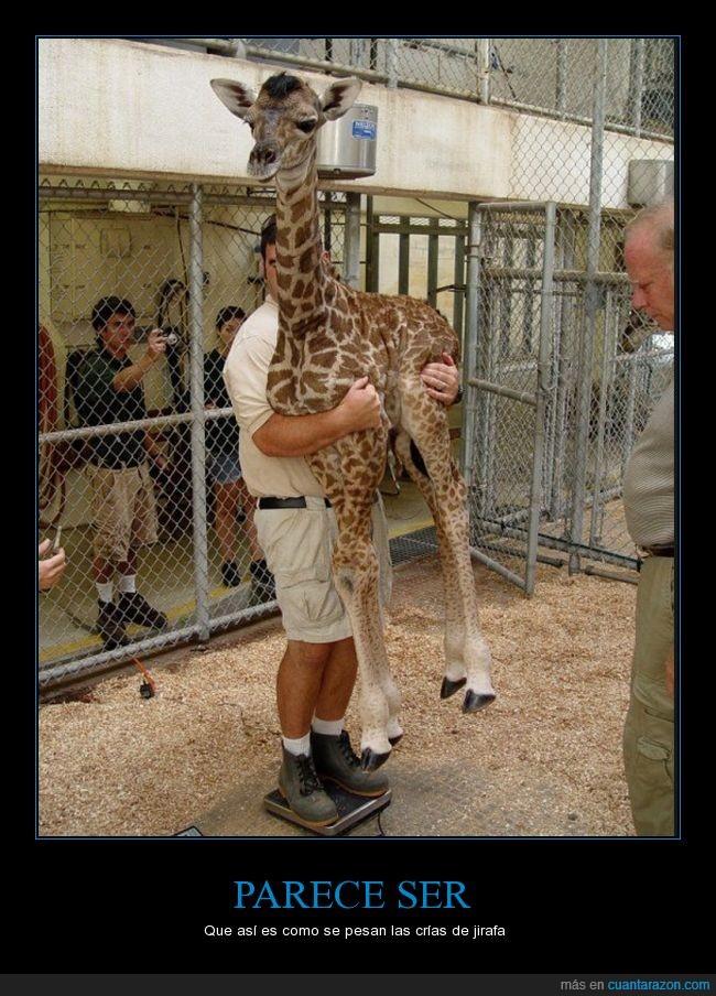 bascula,bebe,brazos,coger,cría,cuidador,jirafa,pesar,peso,zoo