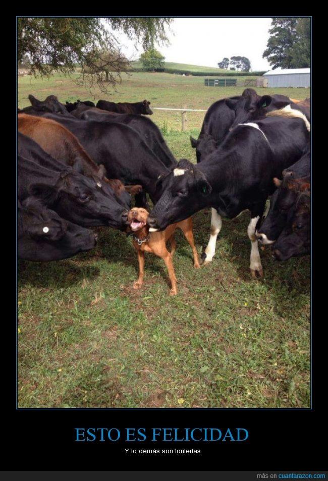 cara,felicidad,feliz,perro,sonrisa,vaca