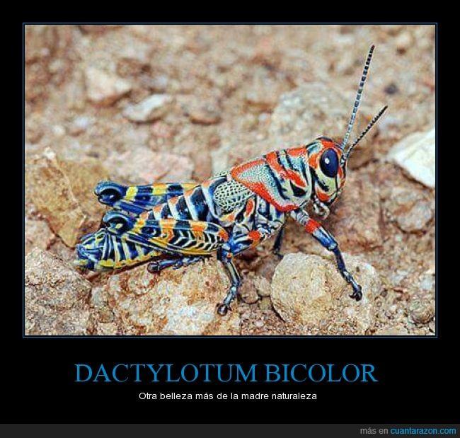 América del Norte,Dactylotum bicolor,saltamontes arco iris
