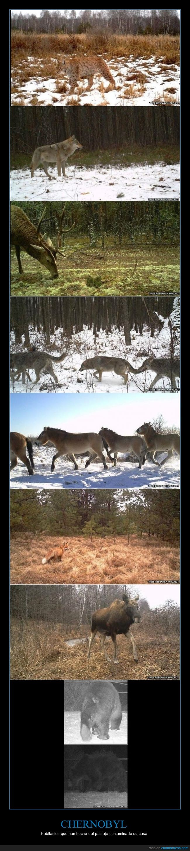 cámaras en lugares estratégicos,Chernobyl,diversidad de vida silvestre,ex RSS de Ucrania,Mike Wood,Rusia,Unión Soviética,Vida Silvestre