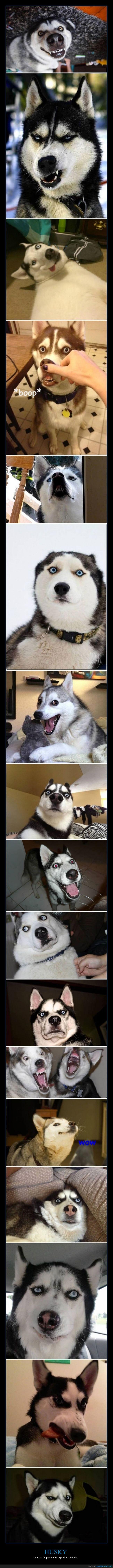 cara,expresion,expresivo,husky,perro,sorpresa