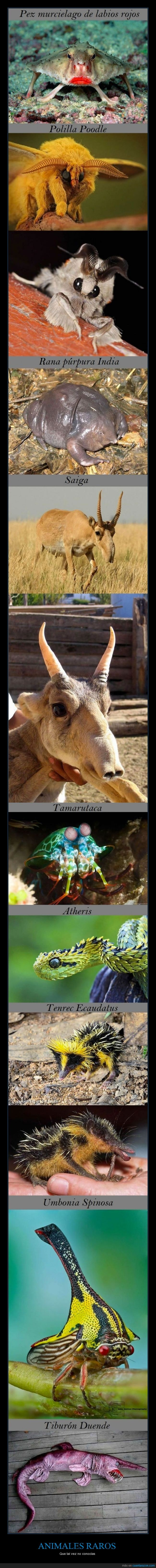 animales,duende,erizo,labios,rana,raros,saiga,serpiente,tiburon
