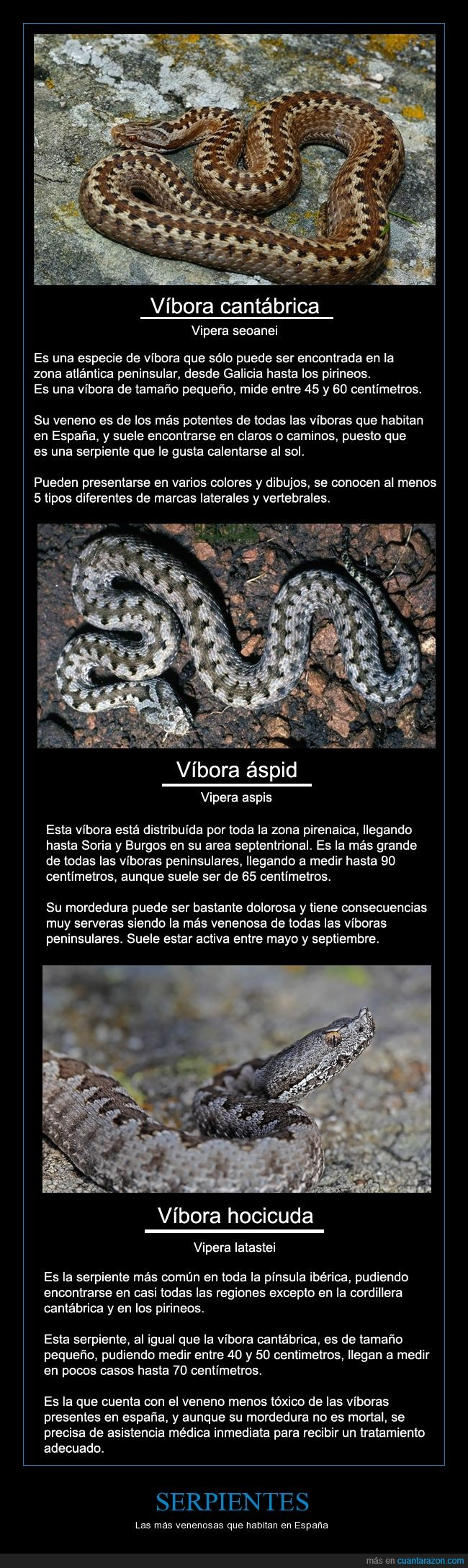 españa,por una vez no vienen de australia,serpientes,veneno,venenosas,víbora,víbora áspid,víbora cantábrica,víbora hocicuda