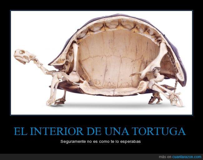 caparazón,dentro,esqueleto,hueco,interior,tortuga,vacío