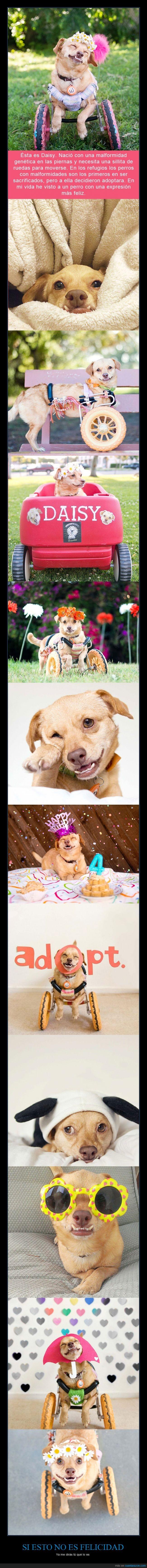 adoptar,carrito,carro,Daisy,dientes,feliz,genetica,malformacion,malformidad,minusvalida,mover,perra,perrita,perro,piernas,refugio,rescatar,salvar,shelter,silla,sillita,sonrisa,underbite