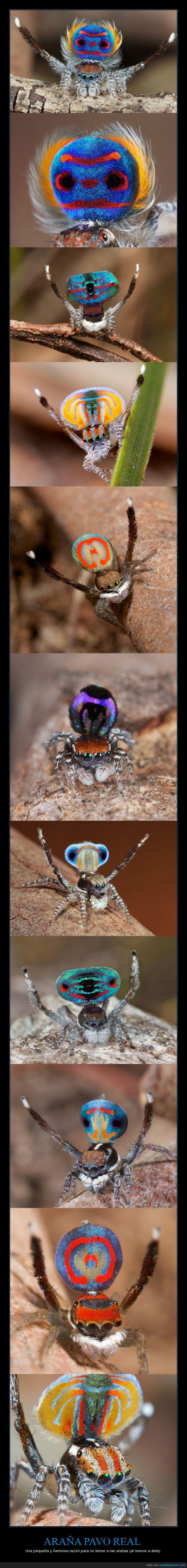 Araña Pavo Real,Arañas,Australia,Danza para atraer a su pareja,Hermosa,Muy pequeña