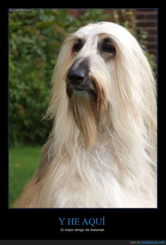 amigo,can,El señor de los anillos,Lebrel afgano,mejor,melena,pelo,perro,Saruman