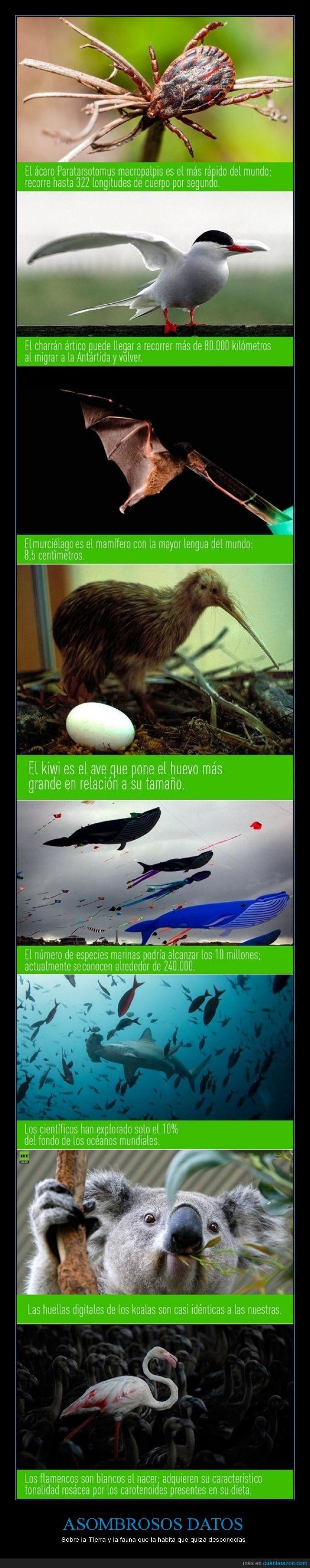 ácaro Paratarsotomus macropalpis,asombrosos datos,Charrán ártico,especies marinas,fauna,flamencos rosas,interesantes,kiwi,koalas,murciélago,naturaleza,Tierra