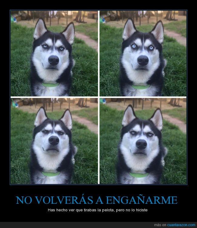 can,enfadado,enfado,Husky,ojos,perro