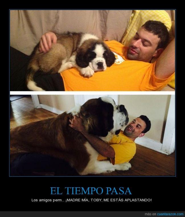 cachorro,crecer,dueño,gigante,grande,pequeño,perro,san bernardo