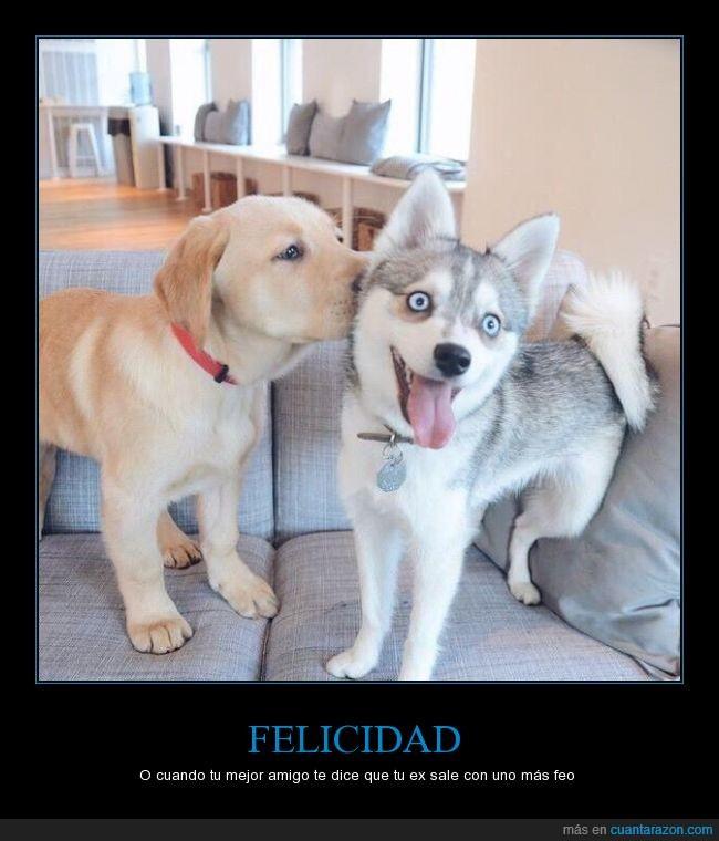 cara,expresión,felicidad,husky,labrador,perro