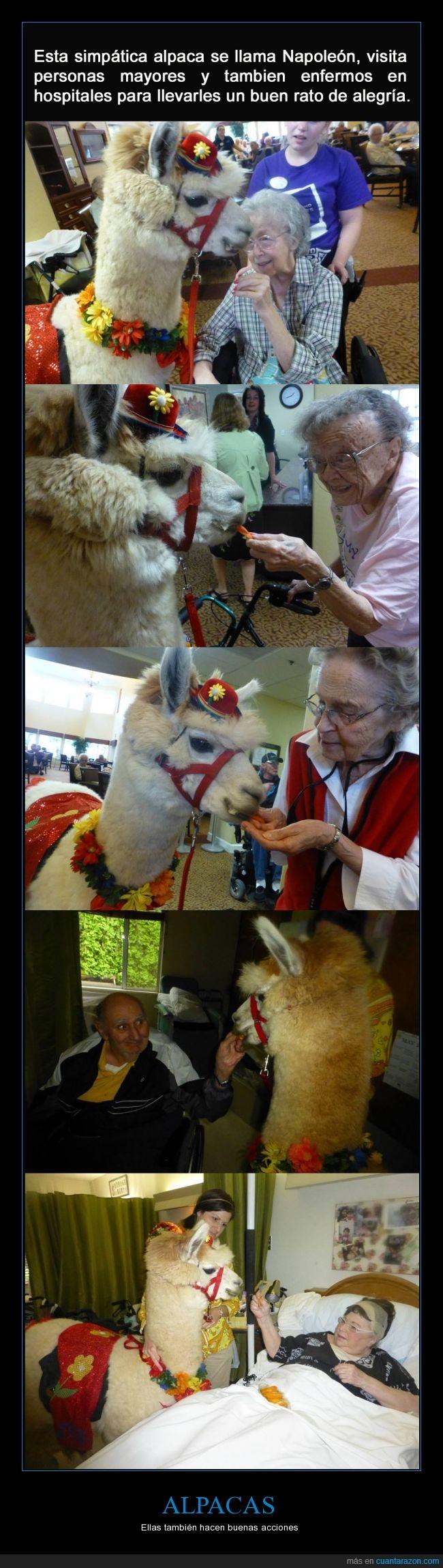 alpacas vengadoras,ancianos,enfermo,felicidad,flores,hospital,mayor,napoleon,visita,visitar,yo tambien quiero que me visite un alpaca